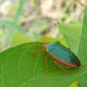 Turkoise Stink Bug