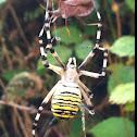 Waspspider
