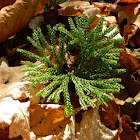 """Princess Pine""  , Fan Club Moss,  Crow's Foot, Running Clubmoss"