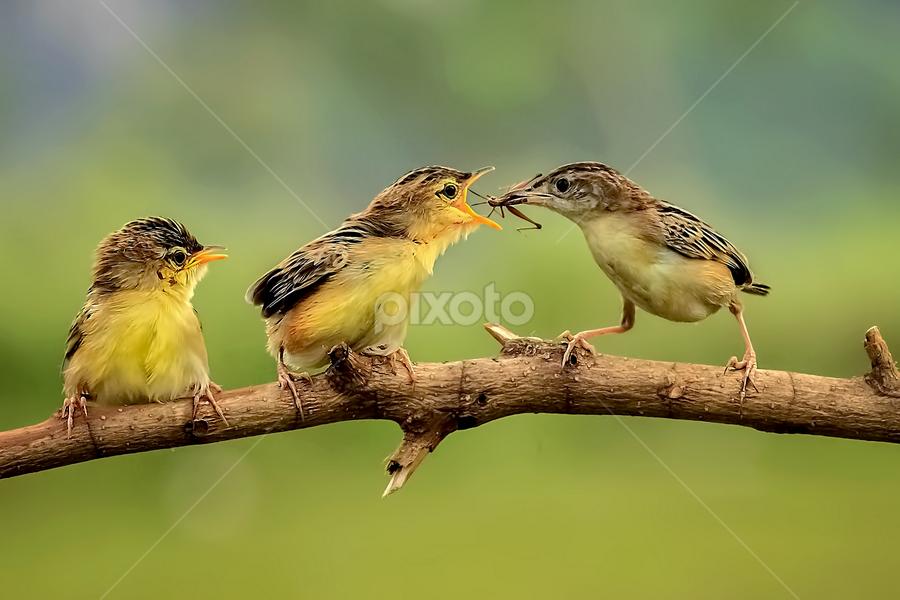 Three Birds by MazLoy Husada - Animals Birds (  )