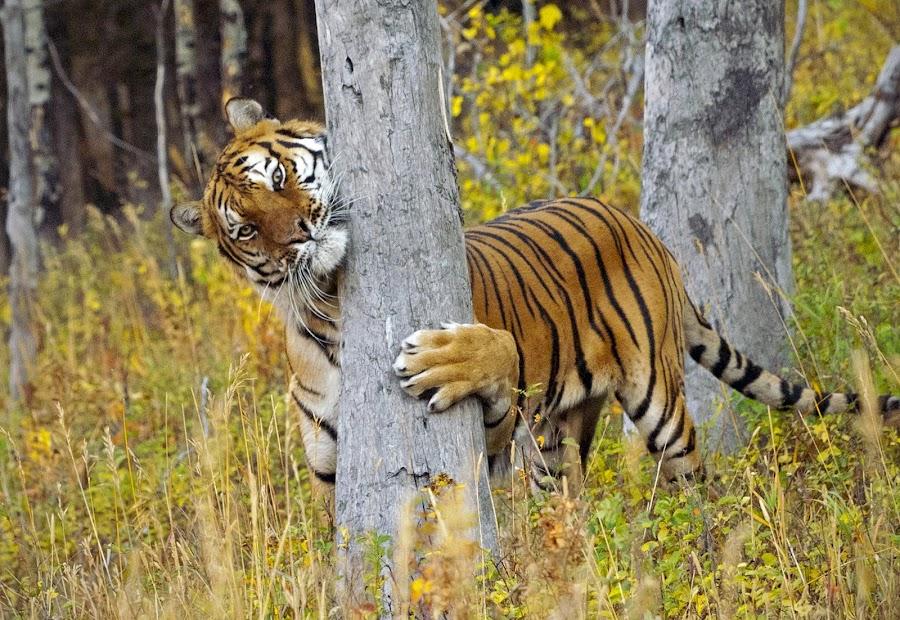 Siberian Tiger by Chris Bartell - Animals Lions, Tigers & Big Cats ( cat, siberian tiger, tree hugger, grass, trees, shy,  )
