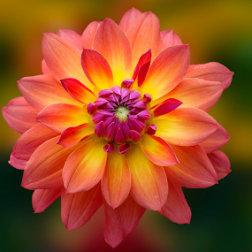 Dahlia by Carl Sieswono Purwanto - Flowers Single Flower ( colorful, mood factory, vibrant, happiness, January, moods, emotions, inspiration )