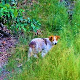 Dog playing around in the field by Sylvain Montpetit - Animals - Dogs Playing (  )
