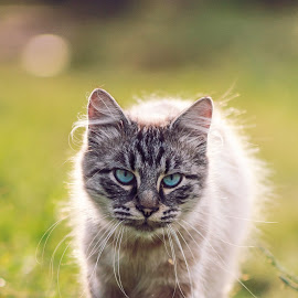 by Cosmin Marcu - Animals - Cats Portraits