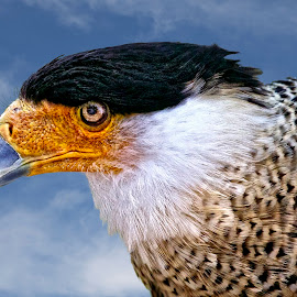 Portrait of a caracara by Sandy Scott - Animals Birds ( birds of prey, caracara, birds, raptor portrait, raptors,  )