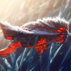 Season transition by Paolo Lazzarotti - Nature Up Close Leaves & Grasses ( contrast, backlit, frozen grass, cold morning, read leaf, ice, maple frozen leaf, morning,  )