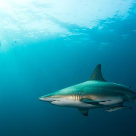 Black Tip Shark by Cameron Bailey - Animals Fish ( south africa, scuba, blacktip shark, aliwal shoal, shark, diving,  )