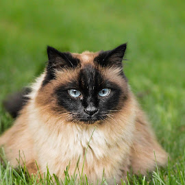 Smoke the cat by Seth Tetoff - Animals - Cats Playing ( cat, spoiled, grass, cute cat, beautiful, beauty )