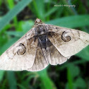 Indian owlet moth