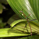 Stick insects (male and female)