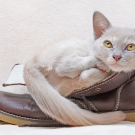 Don't wake me up! by Mia Ikonen - Animals - Cats Kittens ( finland, sleepy, expressive, shoe, burmese,  )