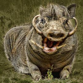 Happy Warthog by Sheen Deis - Animals Other Mammals ( close up nature, in focus, warthog,  )