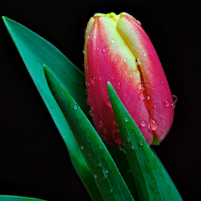The tulip bud by Irena Gedgaudiene - Flowers Flower Buds ( red, tulip, bud, spring, flower, , green )