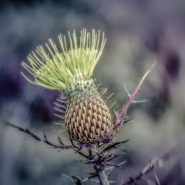 thistle in yellow by Maurice FitzGerald - Nature Up Close Other plants ( thistle, hdr, prickly, soraxtm, tennessee )