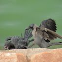 Little Cormorant (juvenile) and House Crow