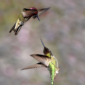 Duel by Michelle Hunt - Animals Birds ( hummers, birds, hummingbirds,  )