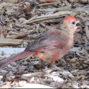 Northern Cardinal       Immature male