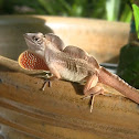 Brown Anole (male)