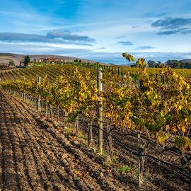 Golden Vines by Mark Cote - Landscapes Prairies, Meadows & Fields ( fall colors, grapes, vineyards, autumn colors, napa, grape vine,  )