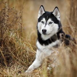 Husky by Надежда Иванова - Animals - Dogs Portraits ( husky, siberian, dog, animal )