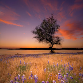Lone tree. by Dustin Penman - Landscapes Prairies, Meadows & Fields ( field, dustin, tree, sunset, lupine, lone, lake, flowers, penman, spring, folsom )