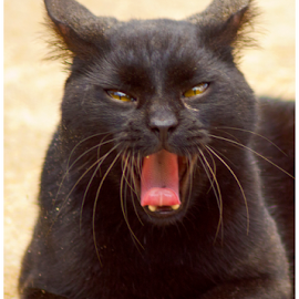 black cat by Pratik Singh - Animals - Cats Portraits ( cat, tongue, growl, pink, moustache, black )