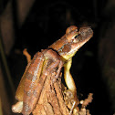 Flat-headed bromeliad treefrog