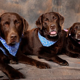 All in the family by Helen Bagley - Animals - Dogs Portraits ( dogs, chocolat, labrador, chocolate lab )