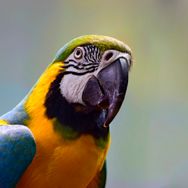 parrot portrait by Phyllis Plotkin - Animals Birds ( bird, nature, parrot, portrait )