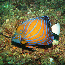 Blueline Angel by Phil Bear - Animals Fish ( coral, reef, fish, thailand, angelfish )