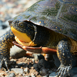 Blanding Turtle by Jill Beim - Animals Reptiles ( endangered species, modern day dinosaur, blanding turtle, turtles,  )