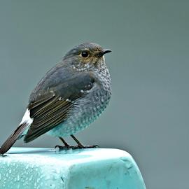 Plumbeous Water Redstart by Arun Bhardwaj - Animals Birds ( bird shots, bird, bird pictures, bird photos, bird of paradise, birds, bird photography )