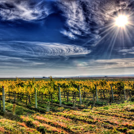 Sunlit Vineyard by Jennifer Gilfillan - Landscapes Prairies, Meadows & Fields ( farm, orchards, vineyard, sunny, orchard, farming )