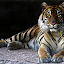 Here's looking at you by Dave . - Animals Other Mammals ( tiger, majestic, beautiful, feline, stripes, large cat )