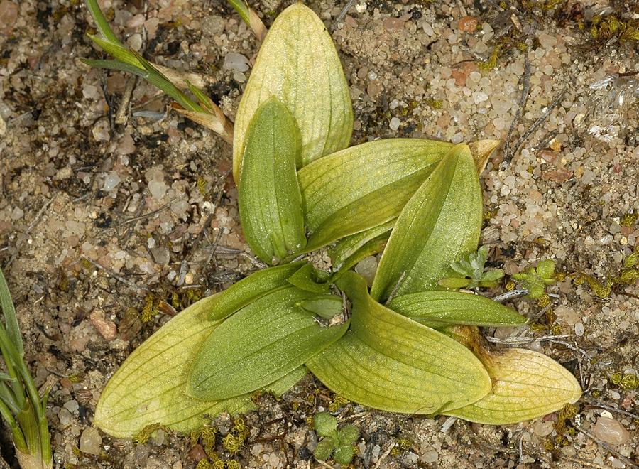 Roseta de hojas de Ophrys fusca