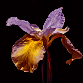 Iris Vibe by Dennis Rubin - Flowers Single Flower ( 4x5, vibe, 2010-05-07, vertical, tone, purple, yellow, format, belmont, nc, blend, violet, iris, dsbg,  )