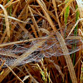 Spider web  by Sanjay Dhar - Nature Up Close Webs ( web, spiderweb )