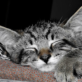 Sleep by Christine May - Animals - Cats Kittens ( sleeping cat, cat, kitten, pet, feline, animal,  )