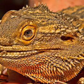 Bearded Dragon by Jason Garton - Animals Reptiles
