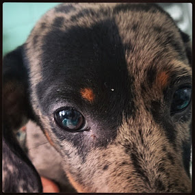 Puppy eyes by Mirna Abaffy - Instagram & Mobile Instagram ( instagram, dogs, puppy, dog, portrait, eyes, animal )