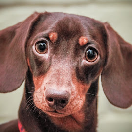 Willow by Maria Fetherstone - Animals - Dogs Puppies ( canine, puppy, brown, cute, dog, portrait,  )