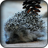 App Hedgehog Wallpapers apk for kindle fire