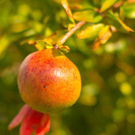 Pomegranate by Mark Ahrens - Nature Up Close Gardens & Produce ( orange, fruit, pomegranate, seasonal, smoothe, seed, orchard, bloom, red, tree, fall, garden, peel )