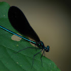 Ebony Jewel-wing