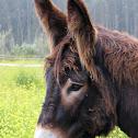 Miranda Donkey