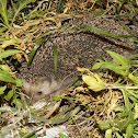 Algerian Hedgehog