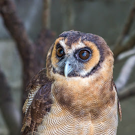 Owl by Keith Walmsley - Animals Birds ( bird, nature, owl, brown, feathers, natural )