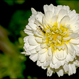 Ant poised on flower by Renuka Nair - Nature Up Close Gardens & Produce