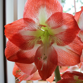 Amaryllis by Marjorie Carol - Novices Only Flowers & Plants