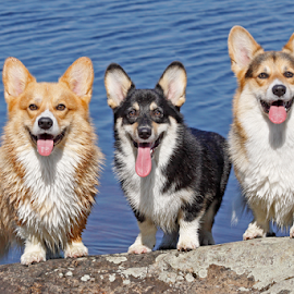 Corgis in the sun by Mia Ikonen - Animals - Dogs Portraits ( pembroke welsh corgi, finland, sunshine, lake, trio )